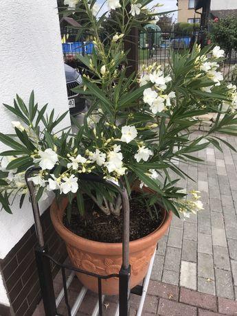 Oleander 150 cm