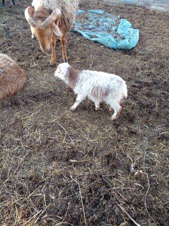 Продам мини овечку
