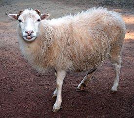 Продам овец недорого