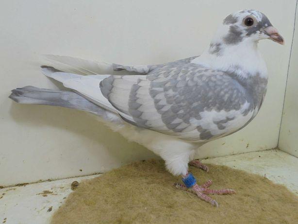 gołębie pocztowe opal