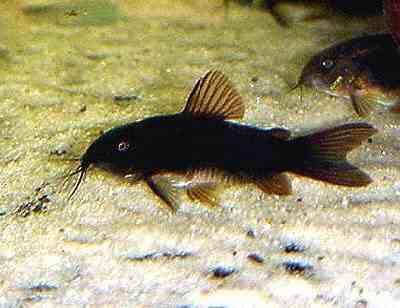 Kirysek Kirys czarny krajowy od Tapajos_pl W-wa dużo innych gatunków