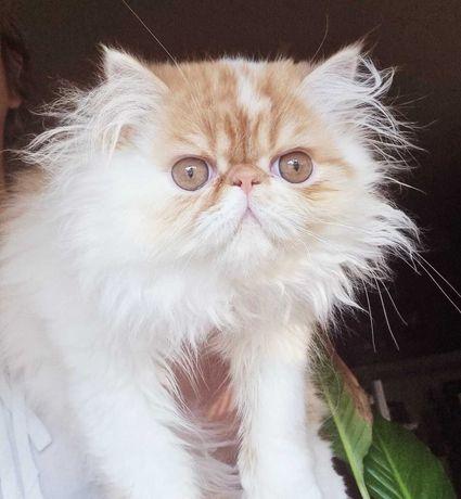 Gatinho persa muito meigo