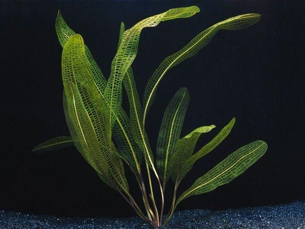 Aponogeton Henkelianus/rośliny akwariowe/roślina