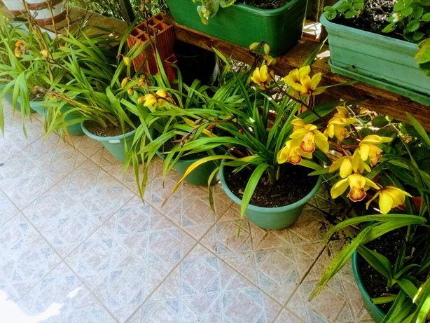 Vendo vasos grandes de orquídeas desde 15 euros