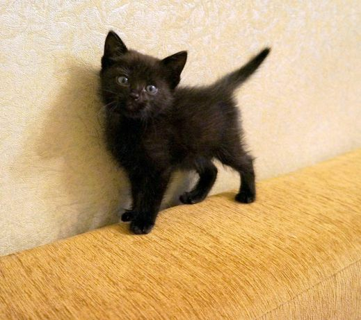 Отдам котёнка чёрный мальчик и трехцветная девочка полтора месяца