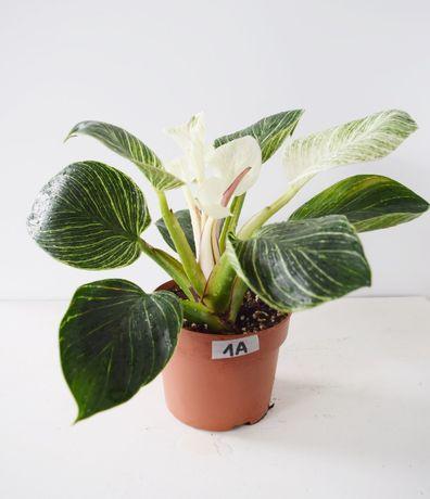 1A Filodendron Birkin duży z mutacją variegata