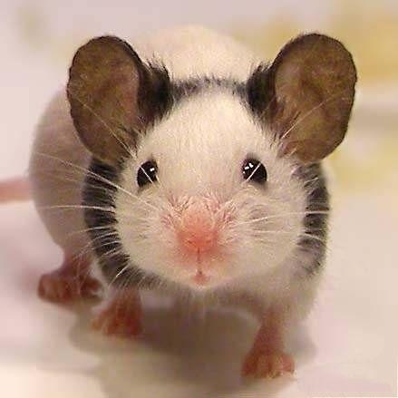 "Японские мышки, мышка, мышь ""танцующая"""