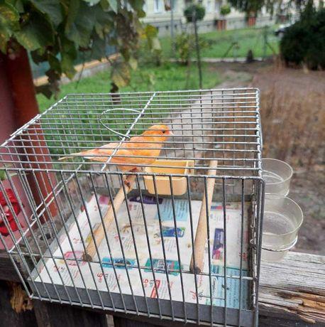 Sprzedam ładnego kanarka - samca!