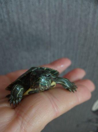 Красноухая черепаха снова в наличии 7шт осталось