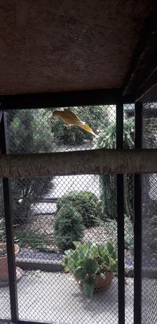 Papugi Aleksandretty obrożne