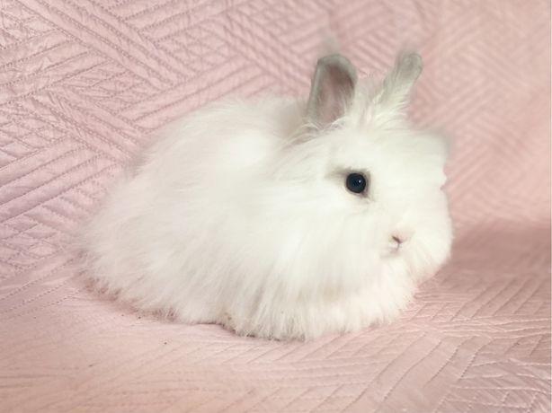 Декоративные кролики  Ангора