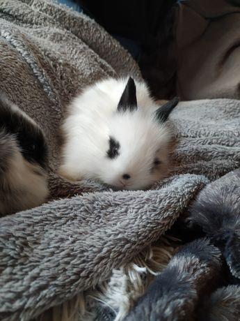 Karzełek Teddy, królik miniaturka