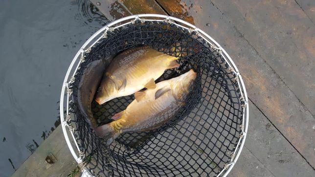 Żywa ryba od hodowcy - karp karaś płoć leszcz tołpyga