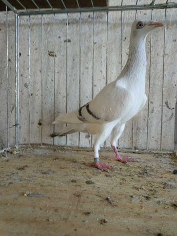 Srebniaki perłowe pasiate gołębie ozdobne