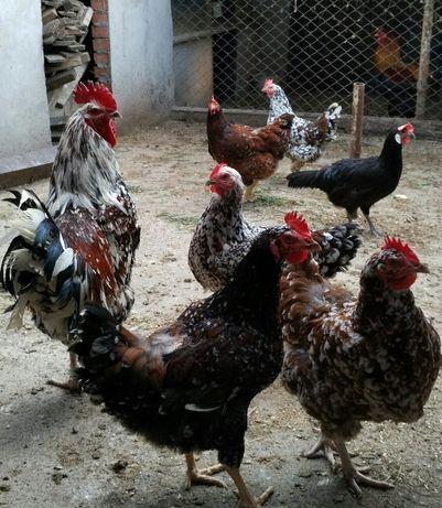 Курчата, яйці лівенських курей