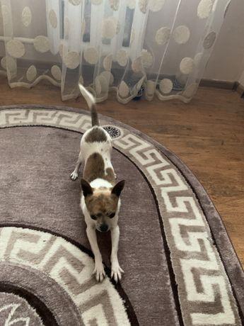 Собачка чихуахуа