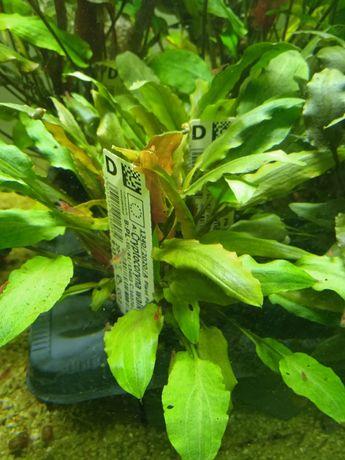 Roślina akwariowa/rośliny do akwarium/Cryptocoryne Walkerii