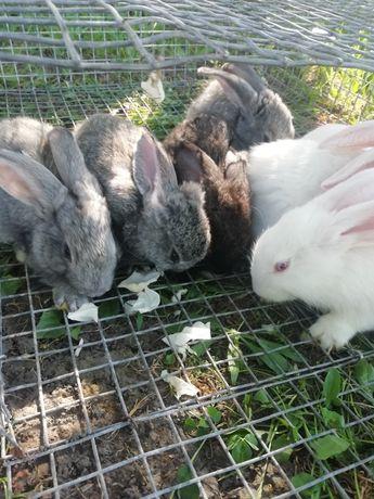 Кролики, кролі, 2 міс.