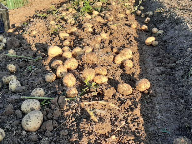 Ziemniaki vineta i pink wielkość sadzeniaka z oryginału