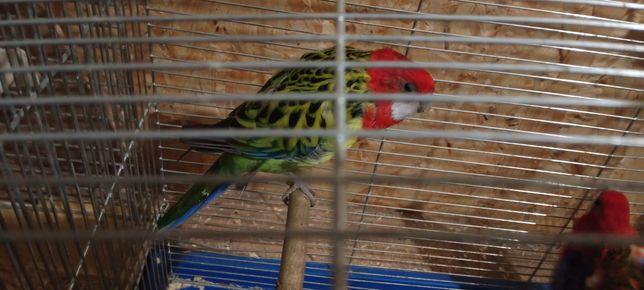 Попугайчики волнистые, кореллы, розелла