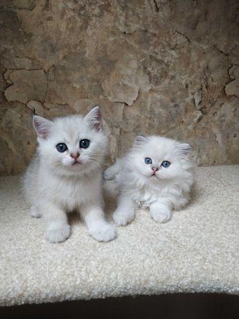 Шотландские котята,серебристая шиншилла, шиншилла пойнт,скоттиш страйт