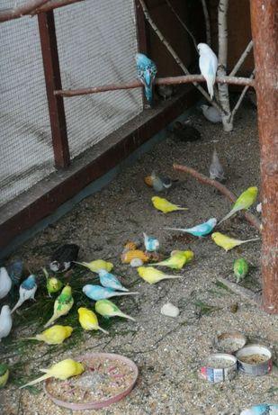 Papugi faliste z woilery zewnętrznej
