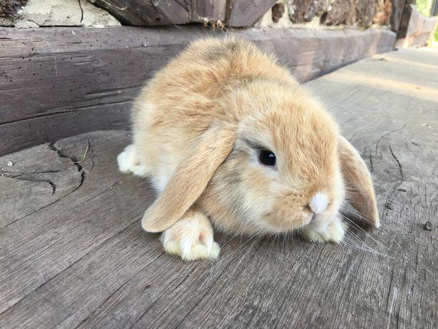 królik króliczki mini lop