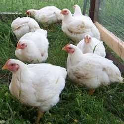 Курка бройлера жива, кури, куры, курица бройлера живая на вагу