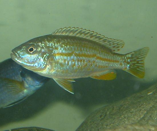 Pyszczak Melanochromis joanjohnsonae elblag