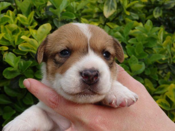 Jack Russell Terrier piesek PEPE od SMARTIE JACKS odbiór czerwiec