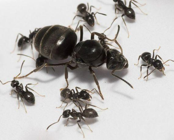 Продаю мурах виду Lazius niger