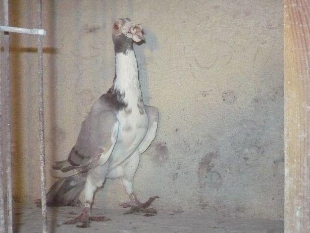 Gołębie Karier Angielski