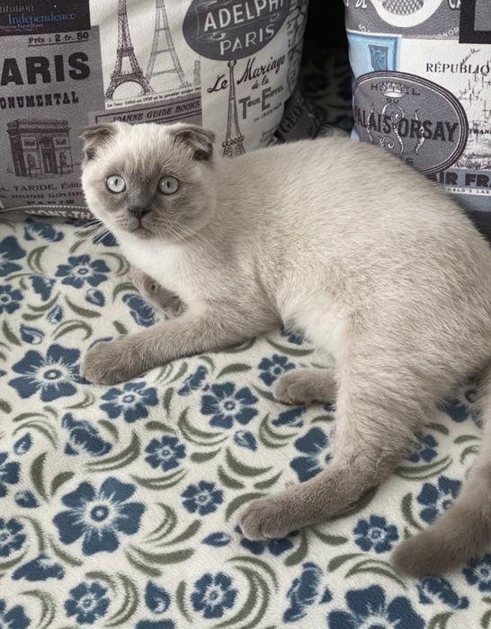 Кіт(шотландець) шукає кішку в'язка Васильков - изображение 1