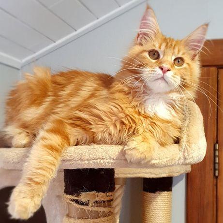 Кот мейн-кун красный мрамор