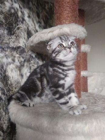Самый милый котенок, скоттиш фоллд