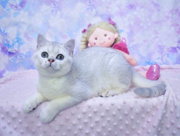 Серебристая шиншилла ,котёнок