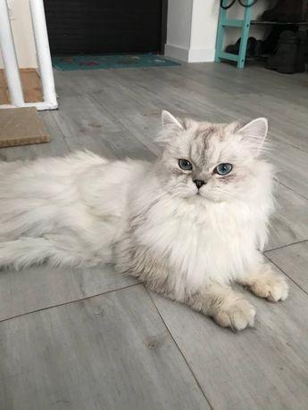 Вязка шотландський кіт прямовухий; в'язка Київ, Київська область