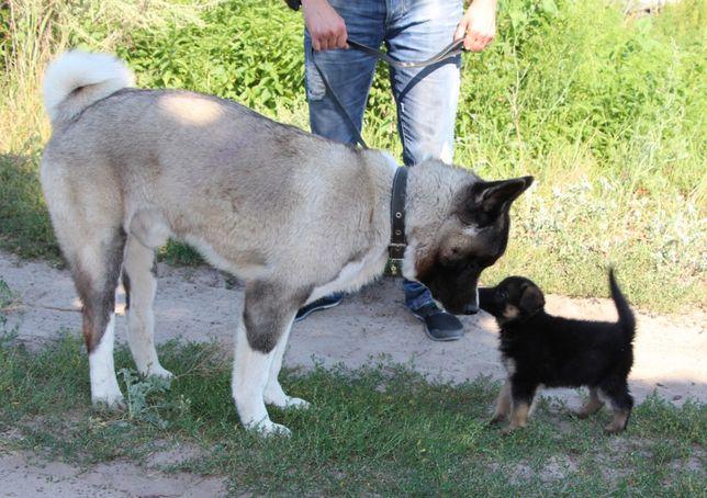 Дрессировка собак. Кинолог КСУ (Кинологической спилки Украины)