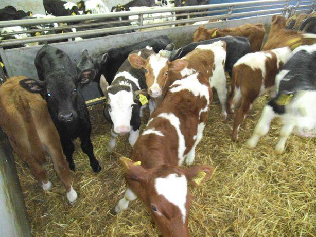 Byczki, jałówki rasy mięsne transport