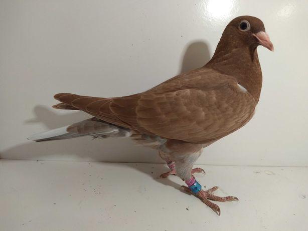 Gołębie pocztowe K. Meulemans, młody  nr 9751.