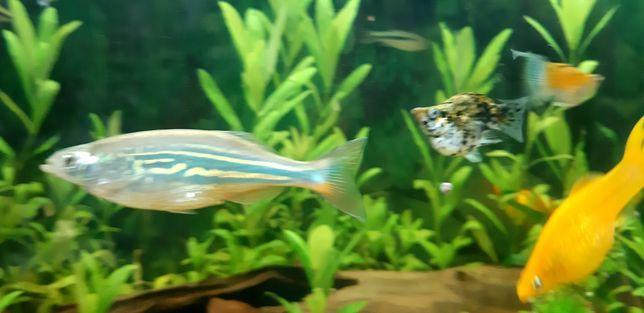 Rybki akwariowe Devario aequipinnatus