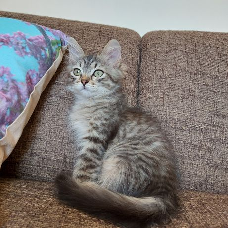 Kotka Syberyjska Malina