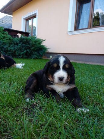 Berneńskie Psy Pasterskie Szczeniaki