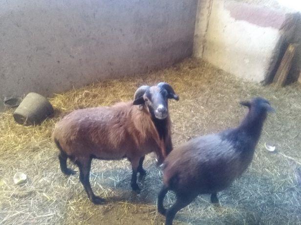Owce kameruńskie para tryk owca kotna