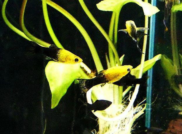 Molinezja żółto-czarna --> Sklep Zoologiczny RYBKA