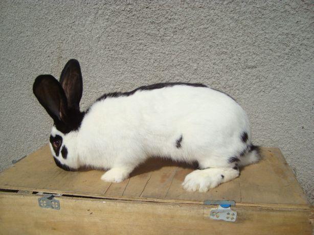 krolik samiec srokacz niemiecki 6 miesięczny króliki