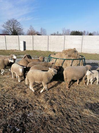 Jagniaki baranki owieczki