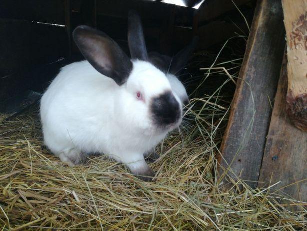 Продаю кроликов Калифорнийцев