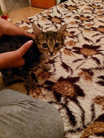 Gato pequeno com 2 meses