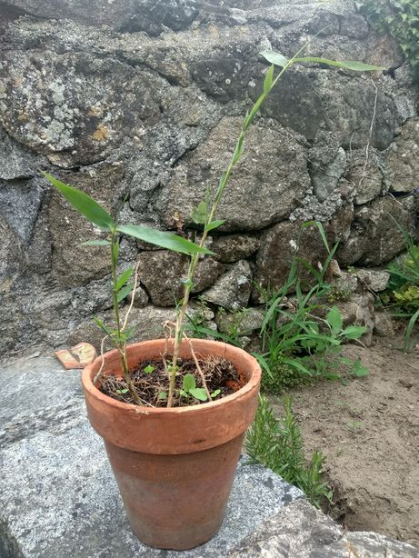 Raíz de Bambú / Bambú vaso